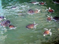 Baby turtle - turtle island